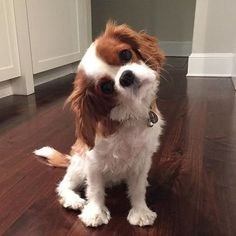 Things we like about the Fun Cavalier King Charles Spaniel Puppies Tiny Fluffy Dog, Fluffy Dogs, Cute Puppies, Cute Dogs, King Charles Puppy, Cavalier King Charles Spaniel Puppy, Spaniel Puppies, Golden Retriever, Cute Baby Animals