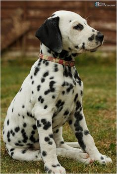 There isn't any puppy cuter than a Dalmatian puppy... Sorry, but total truth.