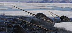 Narval é uma baleia dentada de tamanho médio e o animal com os maiores caninos. Vive durante todo o ano no Ártico. É uma das duas espécies vivas de baleias da família Monodontidae, junto com a baleia beluga, os machos narval são distinguidos por uma, e reta, presa longa helicoidal, na verdade, um canino superior esquerdo alongado.