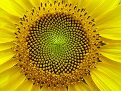 Sunflower - Fibonacci spirals