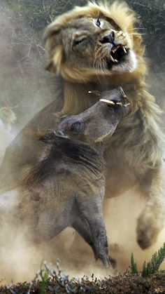 Funny pictures about A warthog and a lion in combat. Oh, and cool pics about A warthog and a lion in combat. Also, A warthog and a lion in combat. Animals And Pets, Cute Animals, Nature Animals, Elephant Park, Wow Photo, Tier Fotos, Wild Nature, African Animals, Animal Photography