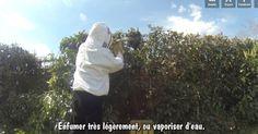 Capturer un essaim accroché à un arbre est un art délicat.