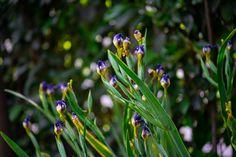 antes de que les de el Sol por la mañana estos Iris se cierran... abiertos son de las flores más bonitas. Iris, Gardens, Sun, Shrubs, Landscaping, Nature, Plants, Bearded Iris