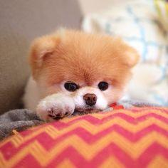 Un hermoso cachorrito #Boo