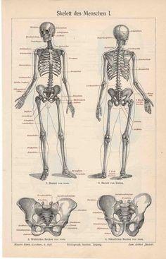 1894 skeleton human original antique anatomy by antiqueprintstore, $45.00