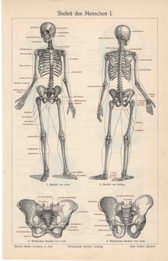 1894 skeleton human original antique anatomy by antiqueprintstore, $45.00