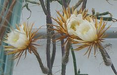 Selenicereus grandiflorus, Nightblooming cereus, Queen of the night. Cactus with flowers that bloom only one night a year and withers within hours.