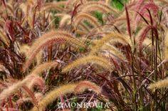 Purple Fountain Grass (Pennisetum setaceum 'Rubrum') - Monrovia - Purple Fountain Grass (Pennisetum setaceum 'Rubrum')