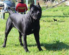 Champion cane corso female Missvanguard Guardiana  Pia Fidelis Kennel