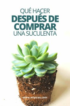 Everything you need to do after buying a succulent or cactus. Growing Herbs Indoors, Growing Greens, Eco Garden, Edible Garden, Small Flower Tattoos, Succulents Garden, Garden Cactus, Outdoor Landscaping, Cactus Plants