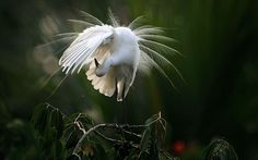 An egret preens itself as it stands on a branch along the River Brahmaputra in Gauhati, India