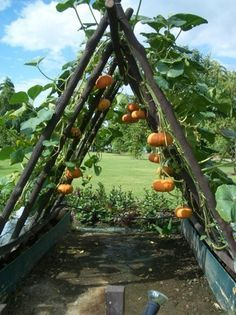 Training pumpkins and squash to grow on a trellis. Not sure where I will try this....but think I might someday! #GardenIdeas
