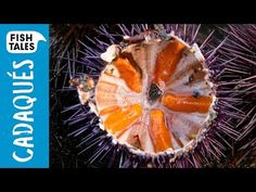 Opening SEA URCHINS | Bart's Fish Tales - http://showatchall.com/craft/opening-sea-urchins-barts-fish-tales/