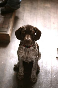 German shorthair pointer. Awh