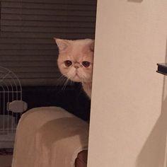 家政婦のマッシュ田2です。 @tamalin727さんが料理している姿をそっと見守っています。 無事に料理が終わりますように。 #なぜ新シリーズ突入したん #1も始まってないけど #この後キッチンで大暴れ #家政婦のマッシュ田 #mash1126a #cat #マッシュ #エキゾチックショートヘア #ねこ #ネコ #猫