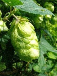 Der Hopfen ist den meisten wohlvertraut vom Biertrinken. Er ist derjenige, der das Bier so herb macht.  Außerdem ist er teilweise für die beruhigende Wirkung des Biers verantwortlich.  Er ist eine Kletterpflanze mit zackigen Blättern und hübschen grüngelben Zapfen, die das Typische am Hopfen sind. Diese Zapfen werden auch in der Heilkunde verwendet.
