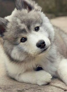 the day that I own a pomsky will be a happy day