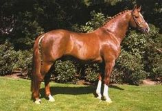 Chestnut - Pictured is Freiherr; Oldenburg stallion in Germany