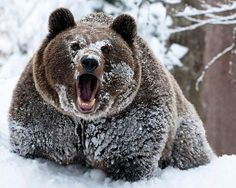 This HD wallpaper is about winter snow grizzly bears cocaine bears Animals Bears HD Art, Original wallpaper dimensions is file size is Bear Pictures, Funny Animal Pictures, Funny Animals, Cute Animals, Wild Animals, Funny Pics, Animal Pics, Animal Memes, Bear Animal