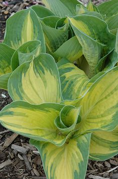 Great Expectations Hosta (Hosta 'Great Expectations') at Gertens