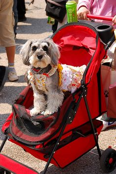 Dog in stroller with pretty dress ....there's something very wrong with this picture!
