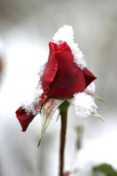 Rose bud with a dusting of snow.