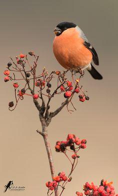 Pués eso... Que bonito es este pájaro!!!... En este caso un macho de camachuelo común