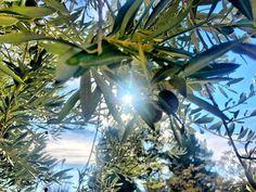 Olivos de Jaén. #Jaén #Olivos #árbol #naturaleza #rama #hoja #tranquilidad #tronco #día #belleza #airelibre #outdoor #cielo #primerplano #hojas #verde #azul #blue #green #olives #sky #tree #peace #day #nature