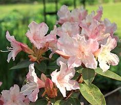 Rhododendron 'Brittany' This pink and yellow flowered hybrid is cold tolerant to -20 F (-29 C).