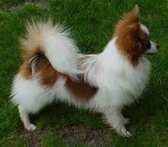 Red & White Papillon Dog Breed.