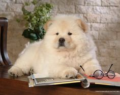A Chow-Chow. #dogs #animal