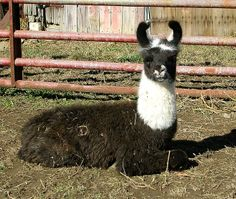 Cute baby llama Tito Llamas, Baby Llama, Colorful Animals, Cute Babies, Funny Babies