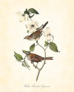 Vintage Bird Print White Throated Sparrow Audubon 8x10 Art Print Natural History Digital Collage Home Decor. $10.00, via Etsy.
