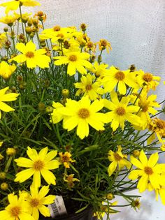 Coreopsis Citrine  If only it were hardier up north, this would be a game changer. If you live in zone 7 or warmer you're a lucky person. This little groundhugger has great color and blooms from spring until fall.