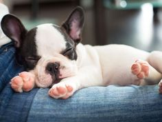 Französische Bulldogge: Blickfang unter den Rassehunden