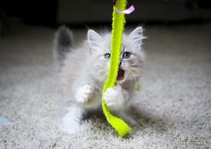 ragdoll kitten attack by venomxbaby on DeviantArt