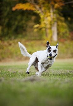 © Kathryn Schauer Photography | action dog photography, mixed breed with tennis ball