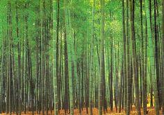 Nature Green Bamboo Wall Murals