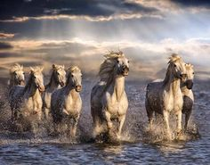 Wild Horses of the Camargue. The Camargue horse is an ancient breed of horse indigenous to the Camargue area in southern France. All The Pretty Horses, Beautiful Horses, Animals Beautiful, Beautiful Sunset, Animals And Pets, Cute Animals, Majestic Horse, Clydesdale, White Horses