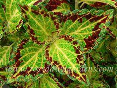 Coleus 'Bonnie Gold'  www.rosydawngardens.com