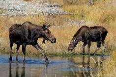 Moose at Schwabacher Landing, Grand Teton Nat'l Park Oct. 2012. Photograph by Bob Bailey Photography