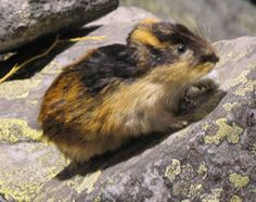 The Lemmings are rodents, which are found in or near the Arctic Tundra. There are more than 100 species of lemmings; the smallest species is the wood lemming and the largest is the … Hamsters, Rodents, Arctic Animals, Cute Animals, Small Animals, Wild Animals, Baby Animals, Arctic Lemming, Nature Film