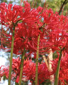 Red Spider Lily | Fall Bulbs | Southern Living Plant Collection
