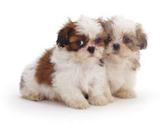 Shih Tzu  my dogs onc looked something like this