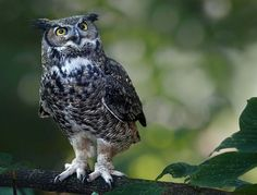Great horned Owl by Irene on 500px