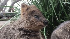 """The quokka is an Australian marsupial (raise their young in pouches). They have little fear of humans as they have few natural predators and are sometimes called """"the happiest animal on the planet""""."""