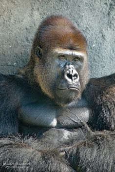Gorilla (Silverback) with Crossed Arms at the Miami MetroZoo by D200-Paul - Thanks for 300K Views on Flickr.