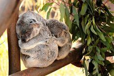 Una vez que un koala bebé se vuelve demasiado grande para estar dentro de la bolsa de su madre, esta carga a su bebé en la espalda…   Los 29 datos más adorables que alguna vez conociste