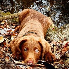 Chesapeake Bay Retriever Dog Breed Information - American Kennel Club