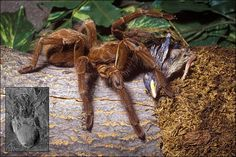 A Goliath bird-eating spider is the world's largest spider at 10 inches in diameter